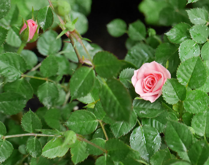 ミスピーチ姫(ミニバラ)花が本格的に咲きだした。2018年-6.jpg