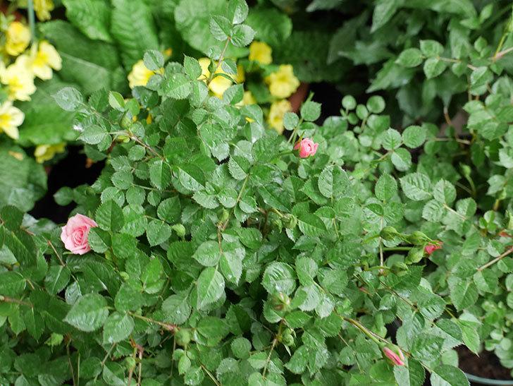 ミスピーチ姫(ミニバラ)花が本格的に咲きだした。2018年-7.jpg
