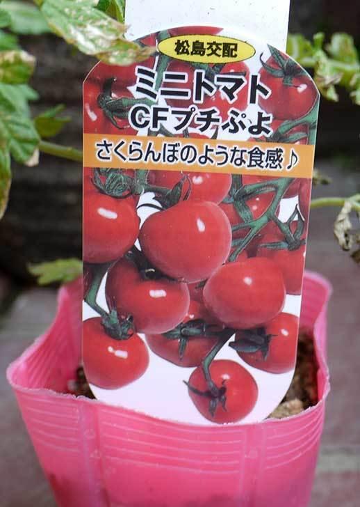 ミニトマト-CFプチぷよがケイヨーデイツーで半額だったので2個買って来た4.jpg