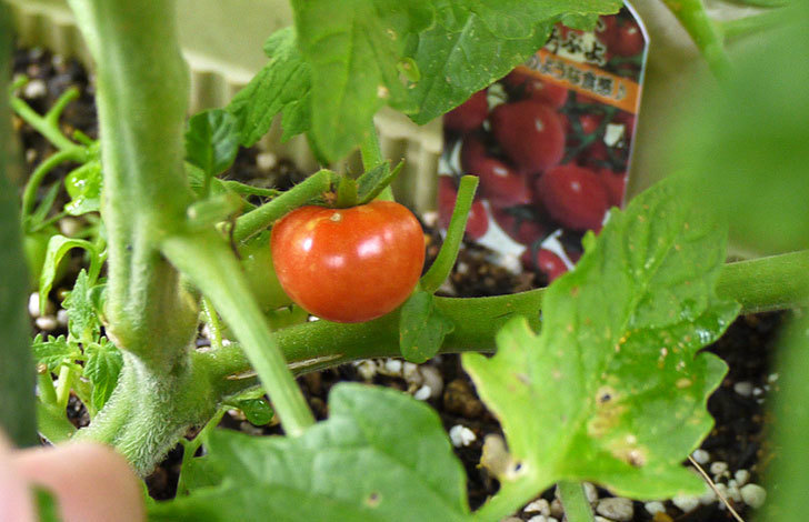 ミニトマト-CFプチぷよの実が赤くなってきた1.jpg