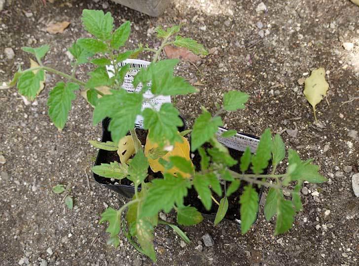ミニトマト-アイコとCFプチぷよをプランターに植えた2.jpg