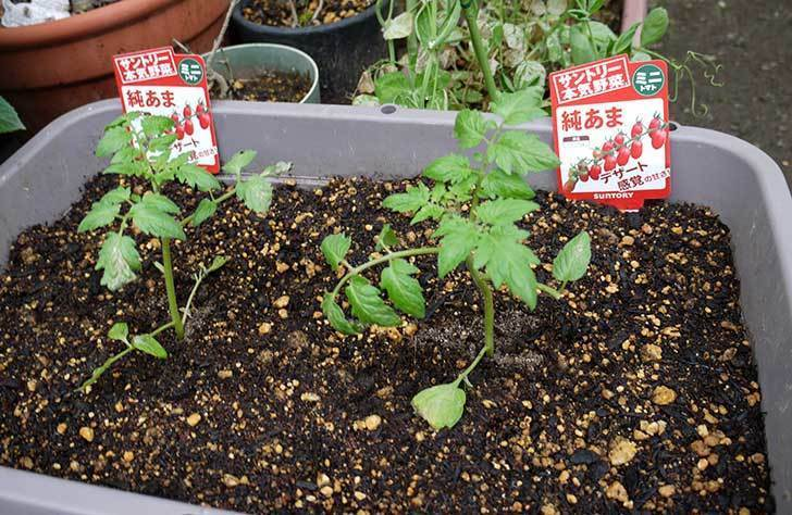 ミニトマト-サントリー-純あまをプランターに植えた1.jpg