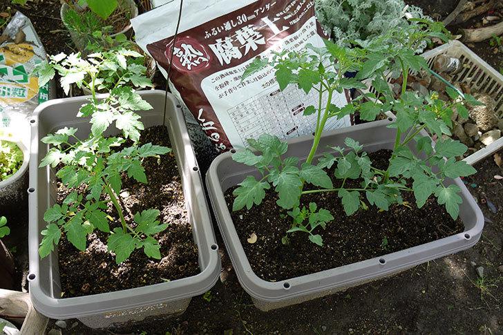ミニトマト-ミニピコの苗をプランターに植えた1.jpg