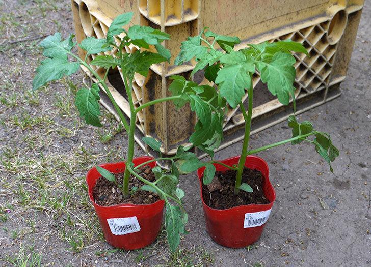ミニトマト-ミニピコの苗を買って来た。68円で2個-1.jpg
