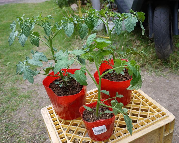 ミニトマト-ミニピコの苗を買って来た。68円で2個-2.jpg