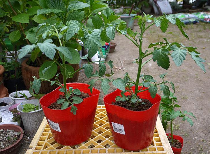 ミニトマト ミニピコの苗を買って来た。228円で2個-1.jpg
