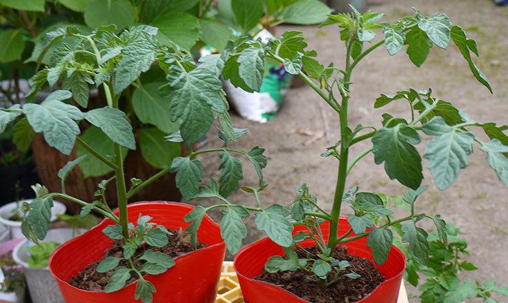 ミニトマト ミニピコの苗を買って来た。228円で2個-2.jpg