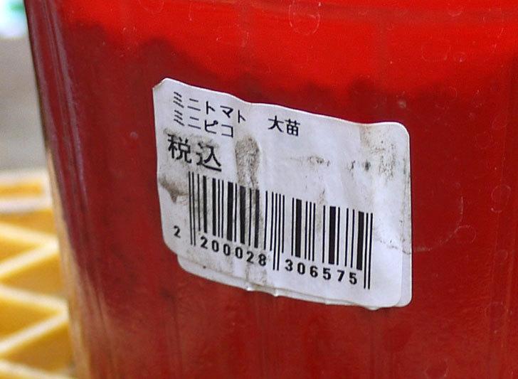 ミニトマト ミニピコの苗を買って来た。228円で2個-3.jpg