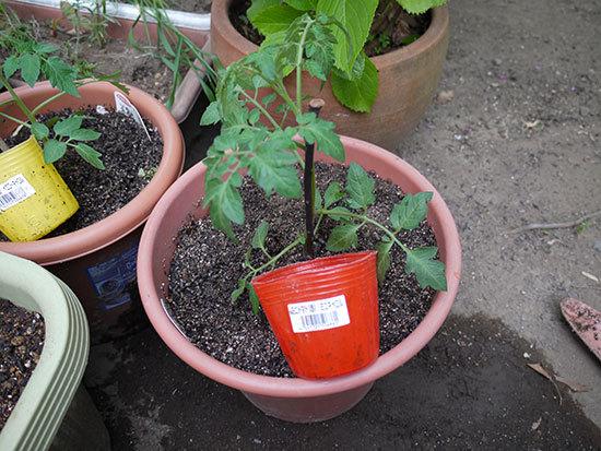 ミニトマト、ミニキャロルとイエローキャロルの苗を買って来た2.jpg