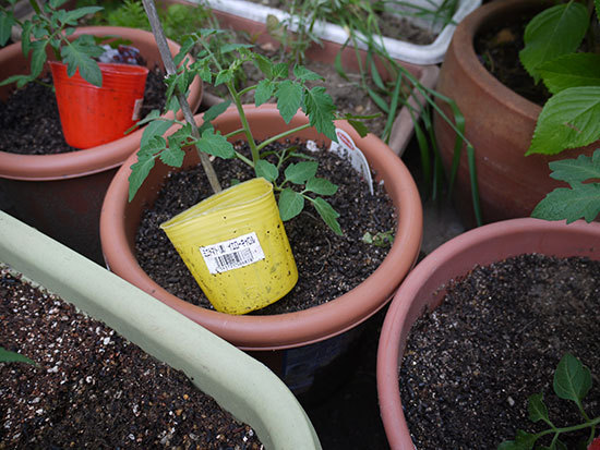 ミニトマト、ミニキャロルとイエローキャロルの苗を買って来た3.jpg