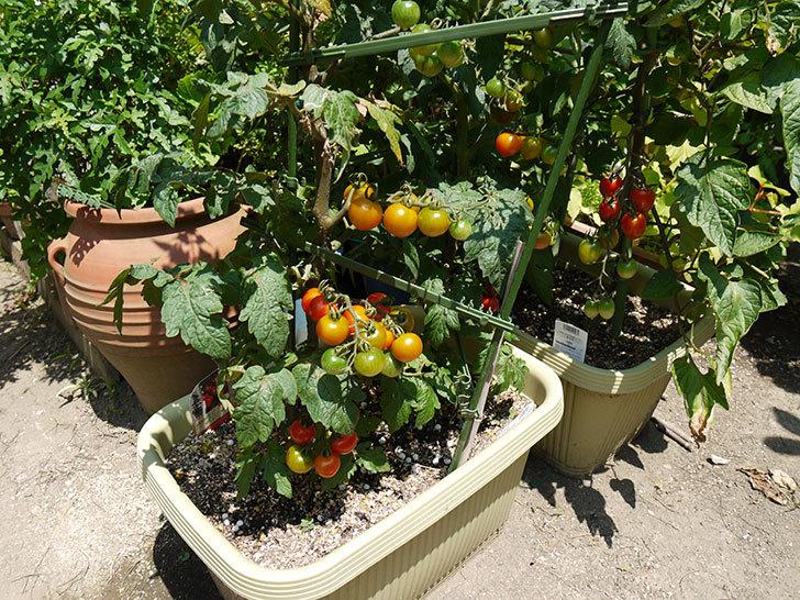 ミニトマトが収穫期に入った1.jpg