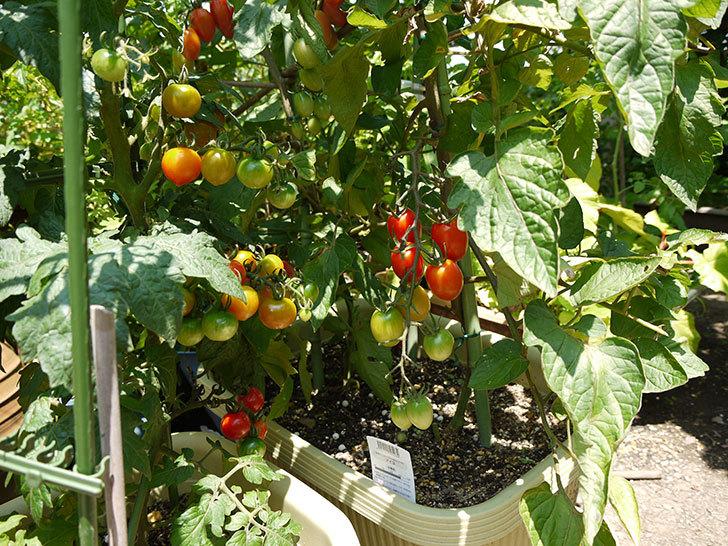 ミニトマトが収穫期に入った2.jpg