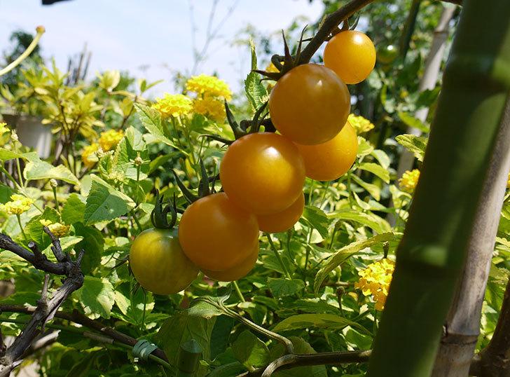ミニトマトが収穫期に入った3.jpg