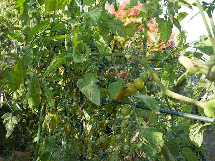 ミニトマトが寒さでそろそろ駄目になりそう。2020年-010.jpg