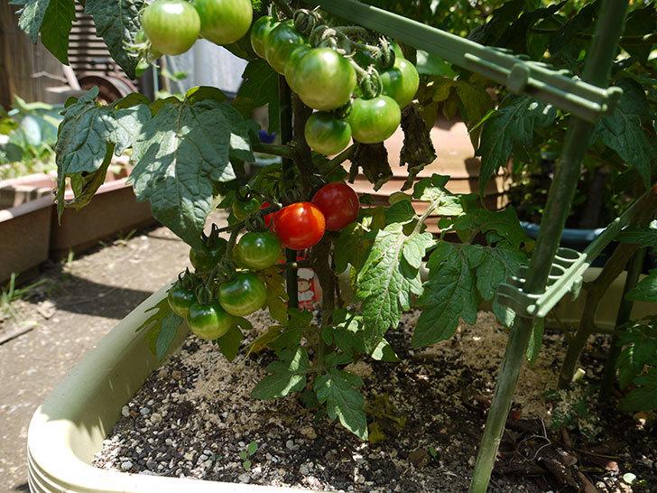 ミニトマトが色づいてきた1.jpg