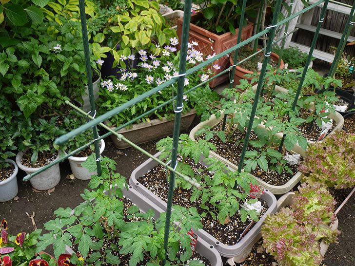 ミニトマトに支柱を設置した。2016年-7.jpg