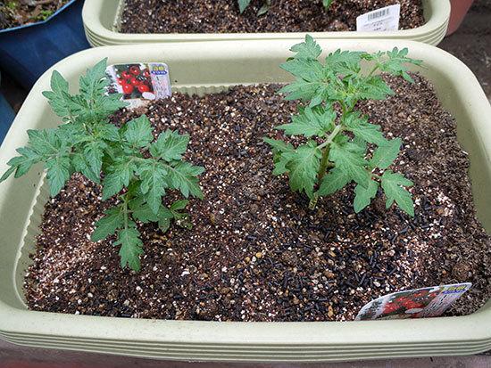 ミニトマトのキャロルツリーの苗を買って来た1.jpg