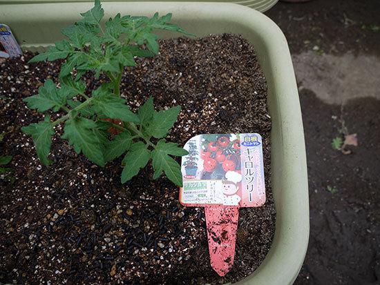 ミニトマトのキャロルツリーの苗を買って来た2.jpg