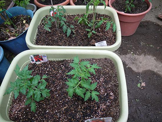 ミニトマトのキャロルツリーの苗を買って来た3.jpg