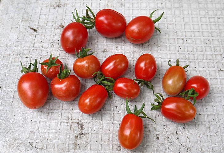 ミニトマトの収穫をした。2015年-1.jpg
