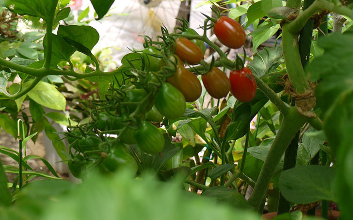 ミニトマトの収穫をした。2015年-3.jpg