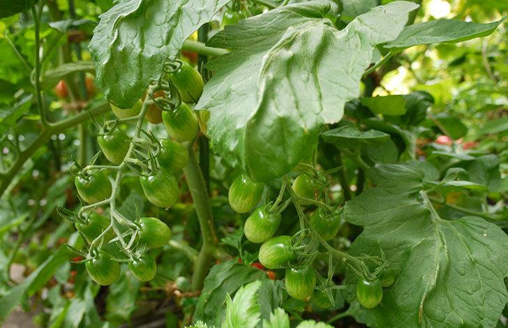 ミニトマトの収穫をした。2015年-4.jpg