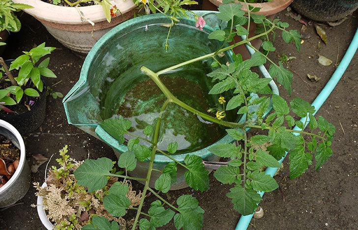 ミニトマトの実が大きくなってきた3.jpg