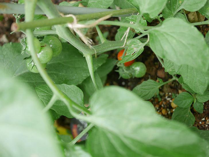 ミニトマトの実が赤くなってきた。2020年-003.jpg