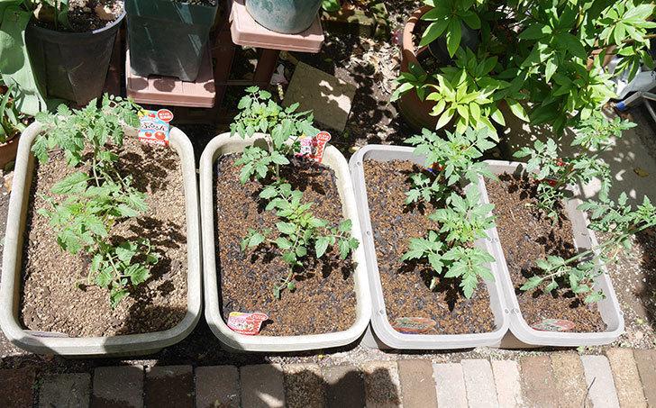 ミニトマトの苗4種類8個をプランターに植えた。2019年-1.jpg