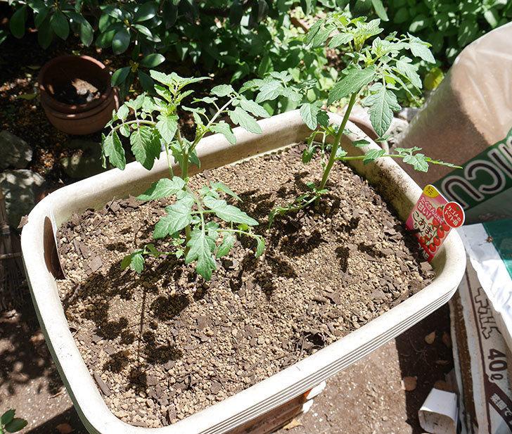 ミニトマトの苗4種類8個をプランターに植えた。2019年-10.jpg