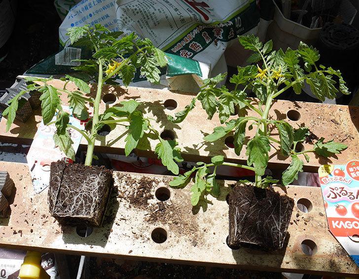 ミニトマトの苗4種類8個をプランターに植えた。2019年-11.jpg