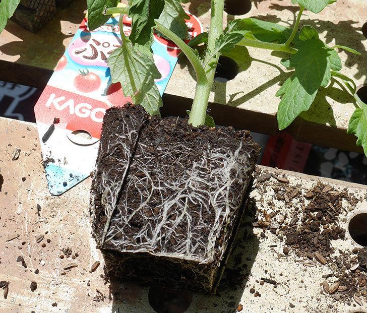 ミニトマトの苗4種類8個をプランターに植えた。2019年-12.jpg