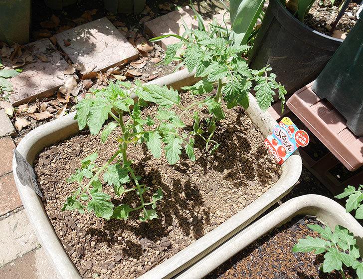 ミニトマトの苗4種類8個をプランターに植えた。2019年-13.jpg