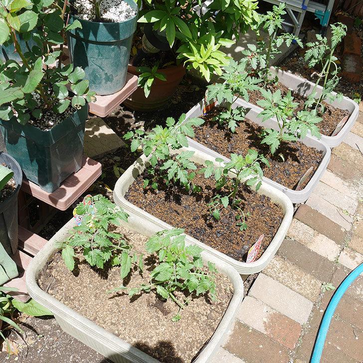 ミニトマトの苗4種類8個をプランターに植えた。2019年-14.jpg