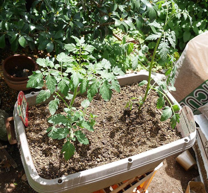 ミニトマトの苗4種類8個をプランターに植えた。2019年-4.jpg