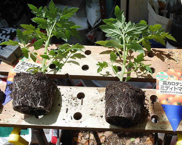 ミニトマトの苗4種類8個をプランターに植えた。2019年-5.jpg