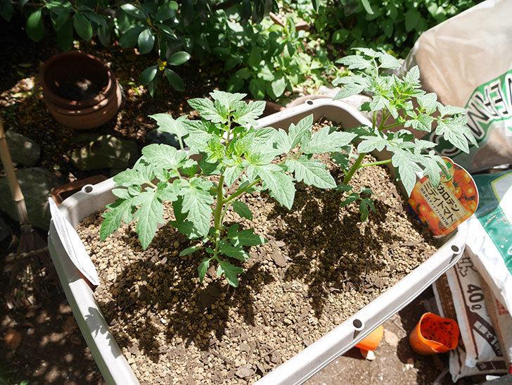 ミニトマトの苗4種類8個をプランターに植えた。2019年-7.jpg