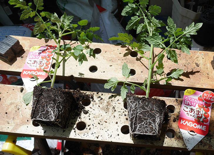 ミニトマトの苗4種類8個をプランターに植えた。2019年-8.jpg