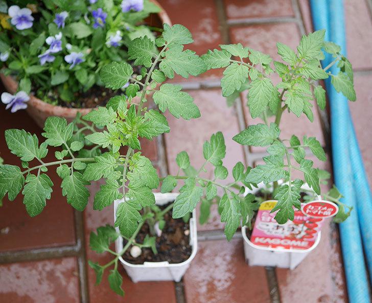 ミニトマトの苗4種類8個をホームズで買って来た。2019年-1.jpg