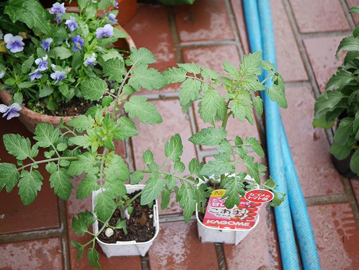 ミニトマトの苗4種類8個をホームズで買って来た。2019年-2.jpg