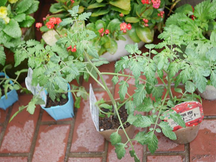 ミニトマトの苗4種類8個をホームズで買って来た。2019年-4.jpg
