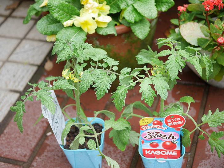 ミニトマトの苗4種類8個をホームズで買って来た。2019年-6.jpg