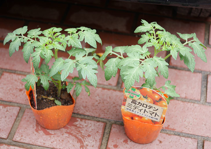 ミニトマトの苗4種類8個をホームズで買って来た。2019年-8.jpg