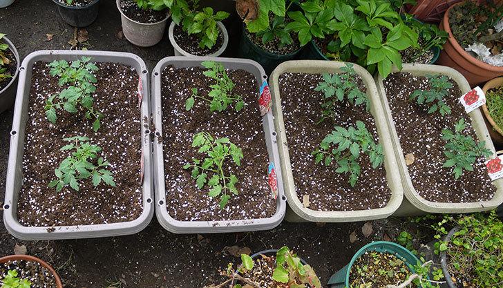 ミニトマトの苗4種類8本をプランターに植えた。2016年-1.jpg