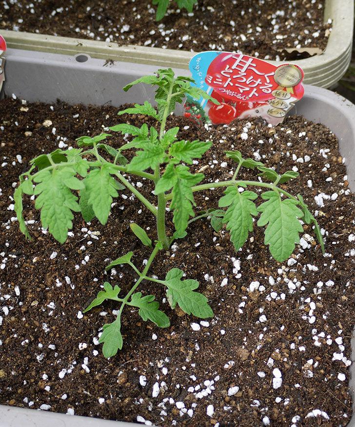ミニトマトの苗4種類8本をプランターに植えた。2016年-12.jpg