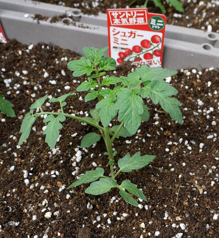 ミニトマトの苗4種類8本をプランターに植えた。2016年-14.jpg