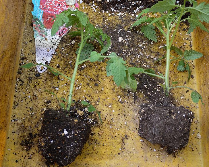 ミニトマトの苗4種類8本をプランターに植えた。2016年-5.jpg