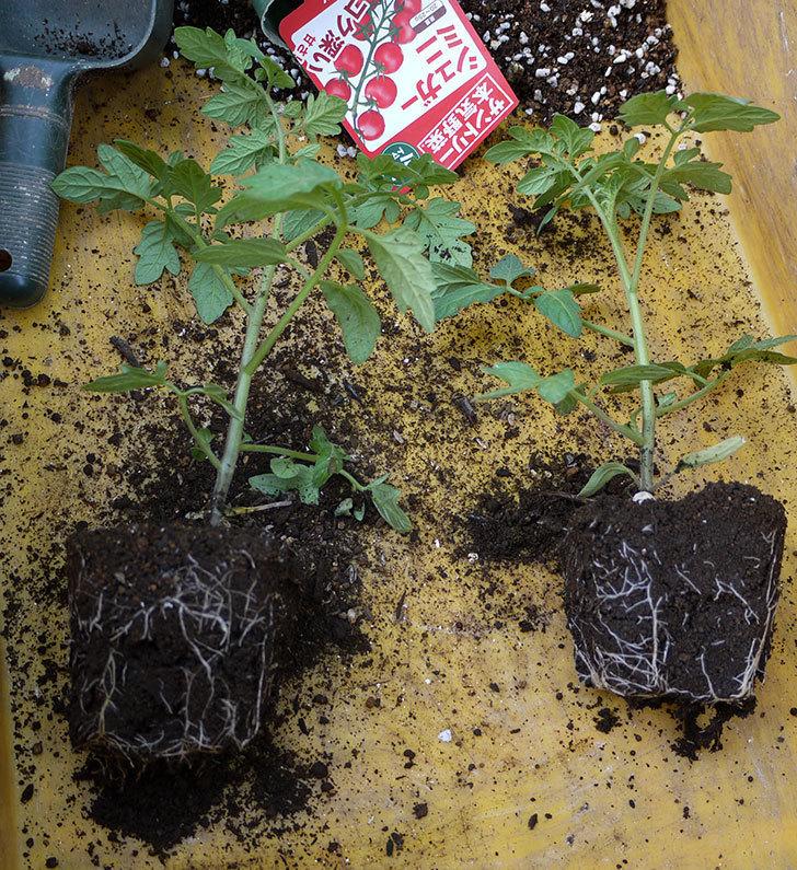ミニトマトの苗4種類8本をプランターに植えた。2016年-6.jpg