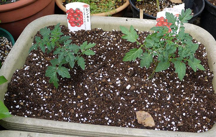 ミニトマトの苗4種類8本をプランターに植えた。2016年-7.jpg