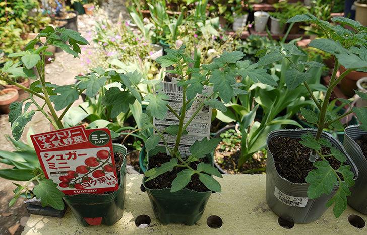 ミニトマトの苗4種類8本をホームズで買って来た。2016年-1.jpg